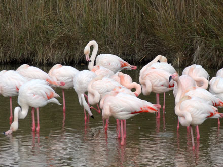 Flamants roses en milieu naturel, St Aygulf (83)