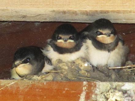 Hirondelles au nid dans le Morvan