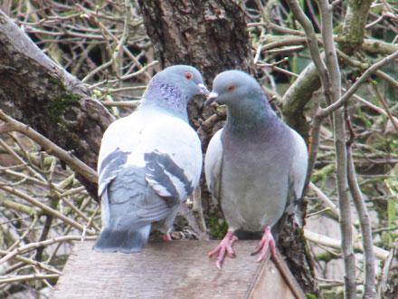 Couple de pigeons, Bondy (93)
